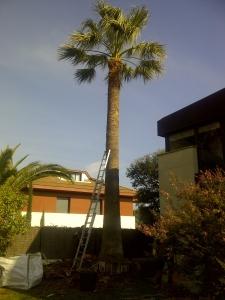 Podando una palmera
